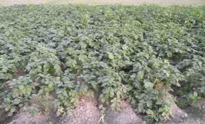 किसानों की उम्मीदों पर सर्द मौसम का