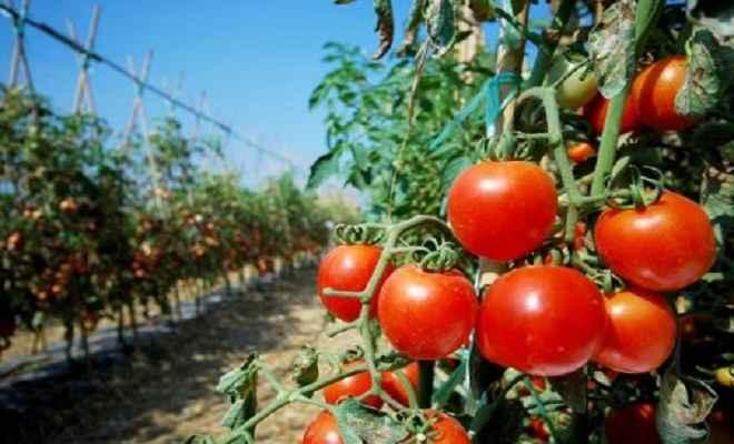 टमाटर की खेती भी किसानों को दे सकती है अच्छा फायदा