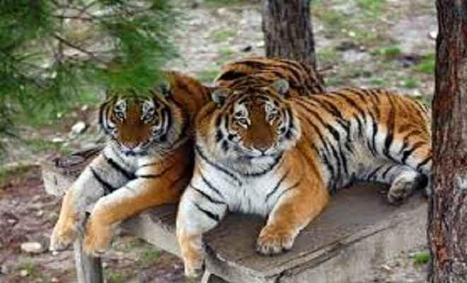 बाघों के पुनर्वास के लिए अन्य राज्यों से बाघ लाएगा राजस्थान