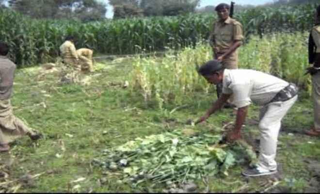 पुलिस ने 1053 एकड़ में लगी अफीम की फसल नष्ट की