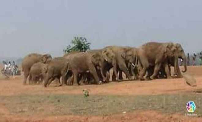 जंगल से भटक कर 19 हाथियों का झुंड पहुंचा मधुपुर