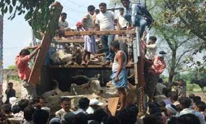 बजरंग दल ने गायों से भरा दो ट्रक पकड़ा