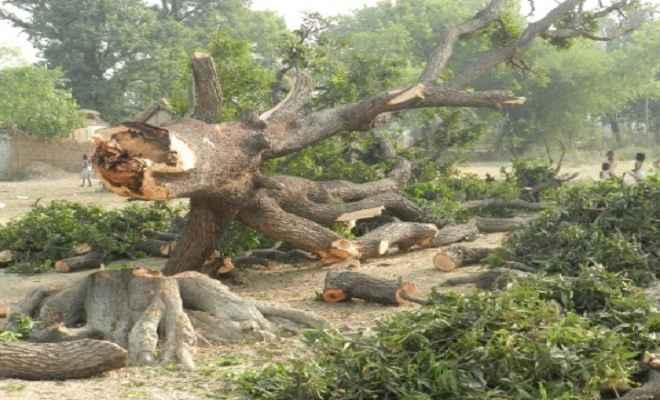 अंधाधुंध काटे जा रहे हैं पेड़, प्रशासन बेपरवाह