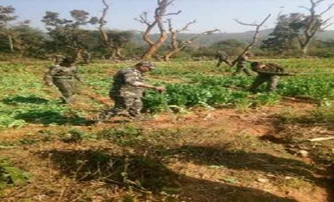 पुलिस ने नष्ट की 25 एकड़ अफीम की अवैध खेती