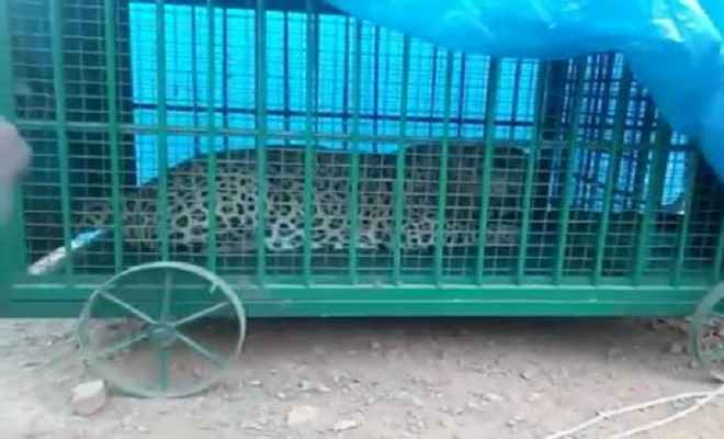 वन विभाग के जाल में फंसा चार बच्चों को शिकार बनाने वाला आदमखोर तेंदुआ