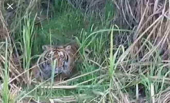 फिर दिखा करदह गांव में बाघ, लोगों में मचा हडकंप
