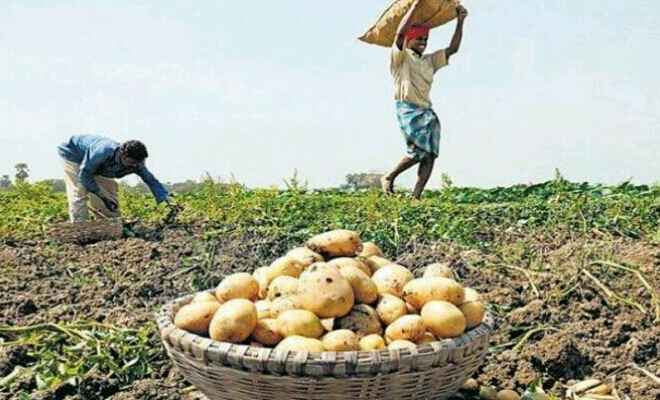 कुशीनगर में शीतगृह कम होने से आलू का उत्पादन का क्षेत्रफल घटा