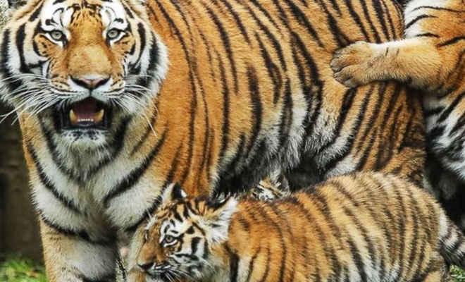 बाधिन अनुष्का के तीन शावकों जन्म देने से रांची के बिरसा मुंडा चिड़ियाघर में बाघों की संख्या हुई 10