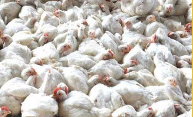 केरल, हरियाण व जयपुर में पक्षियों में एवियन इन्फ्लूएंजा की रोकथाम के लिए हजारों पक्षियों को मारा गया, नष्ट किए गए अंडे, बीमारी से लाखों चिड़ियों की मौत